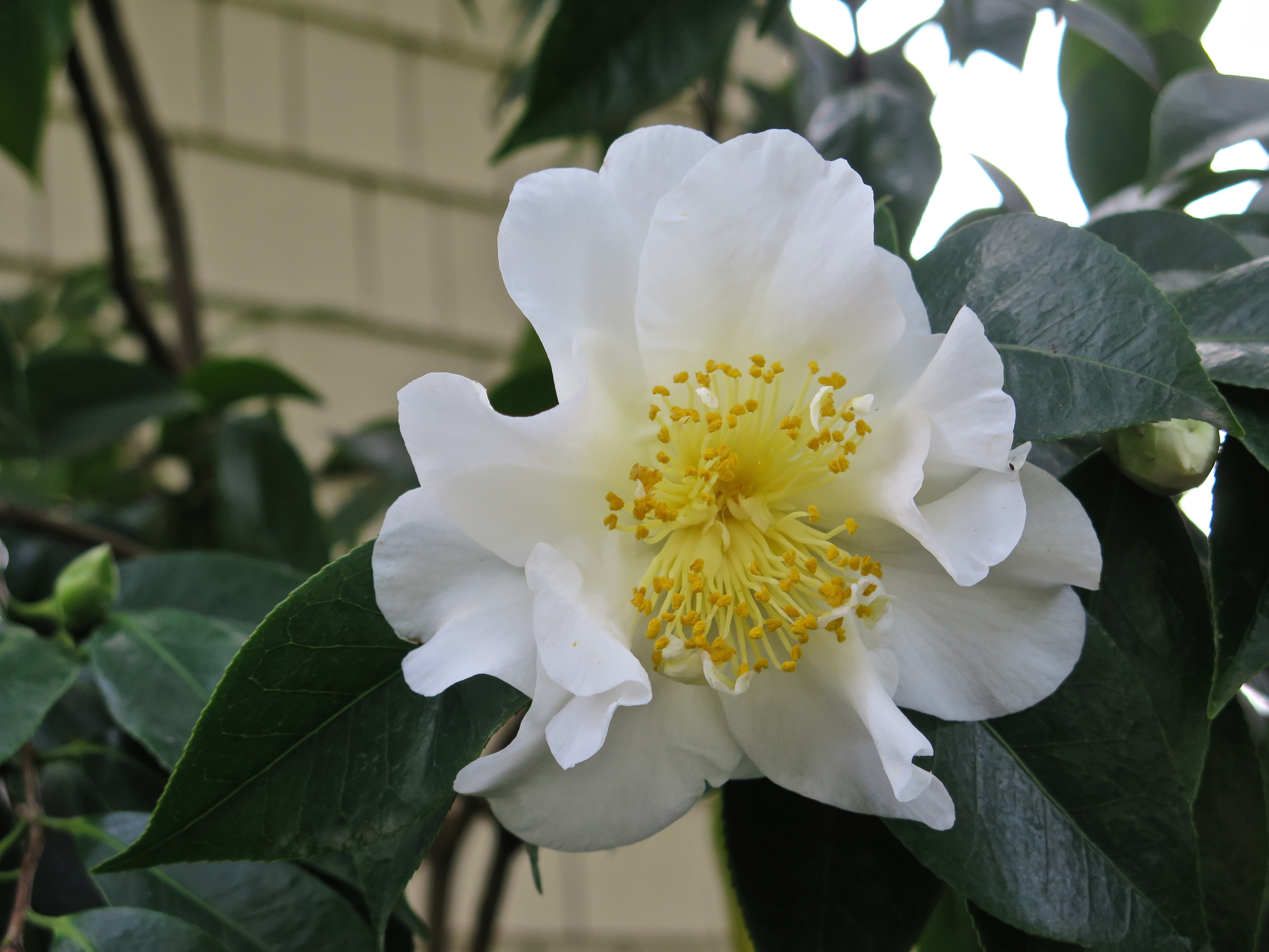 White Camellia With Yellow Stamen