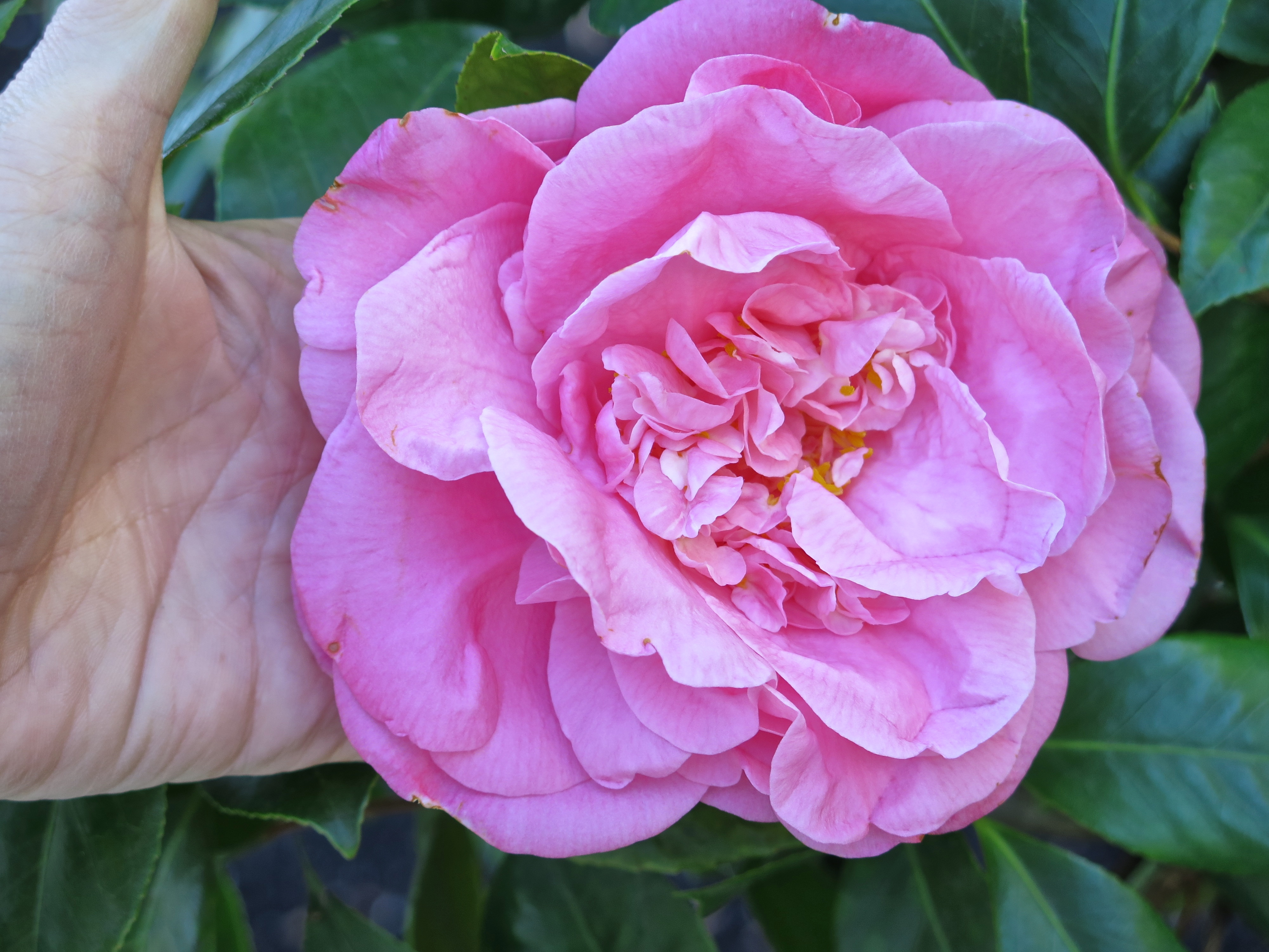Spring is springing my absolute favorite flower of all time is the peony and im lucky enough to have a few of these beautiful plants and flowers the first peony to bloom in izmirmasajfo