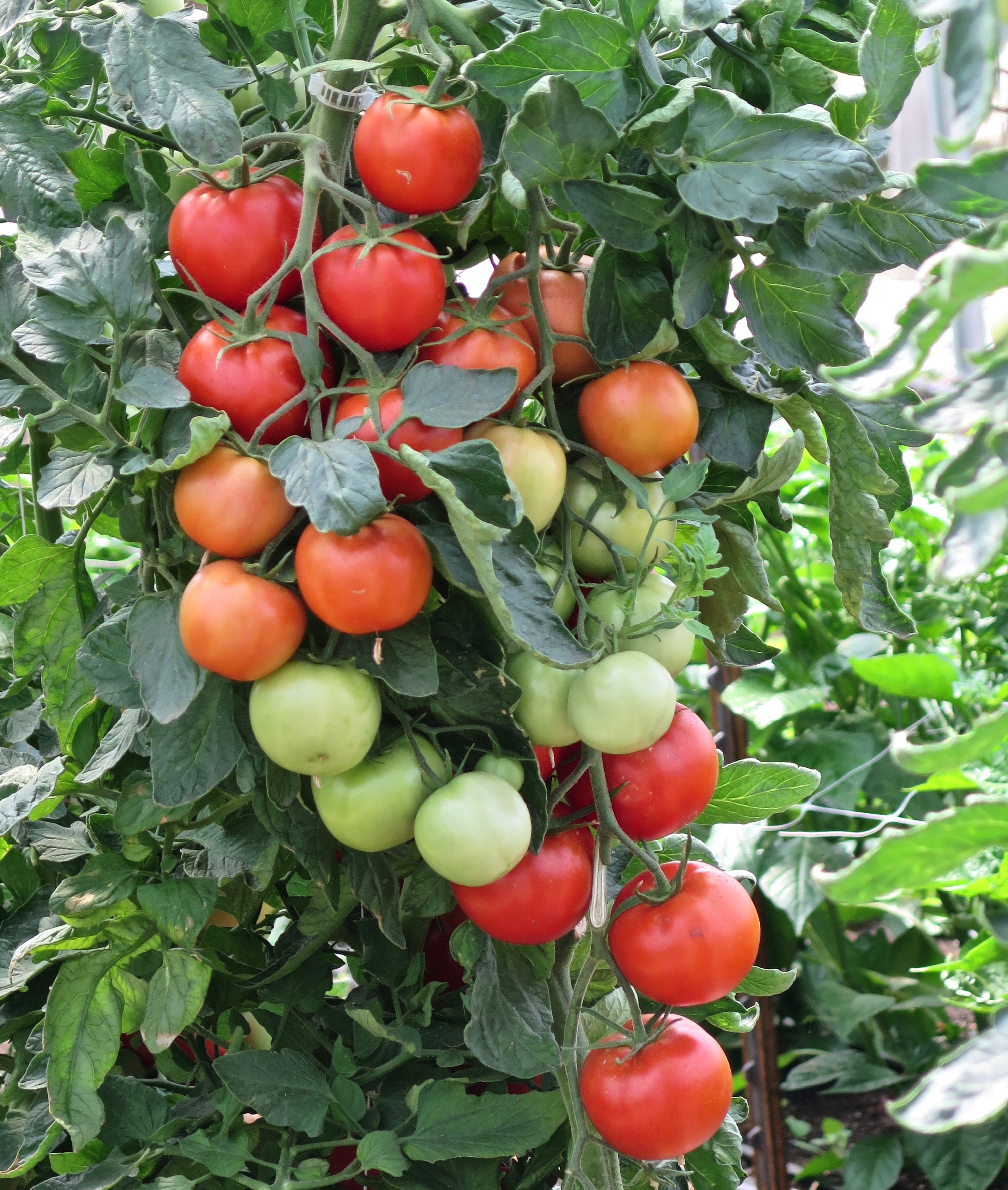 """Picture of 2 (TWO) Live Early Girl Tomato Plant Fit 4"""" Pot"""