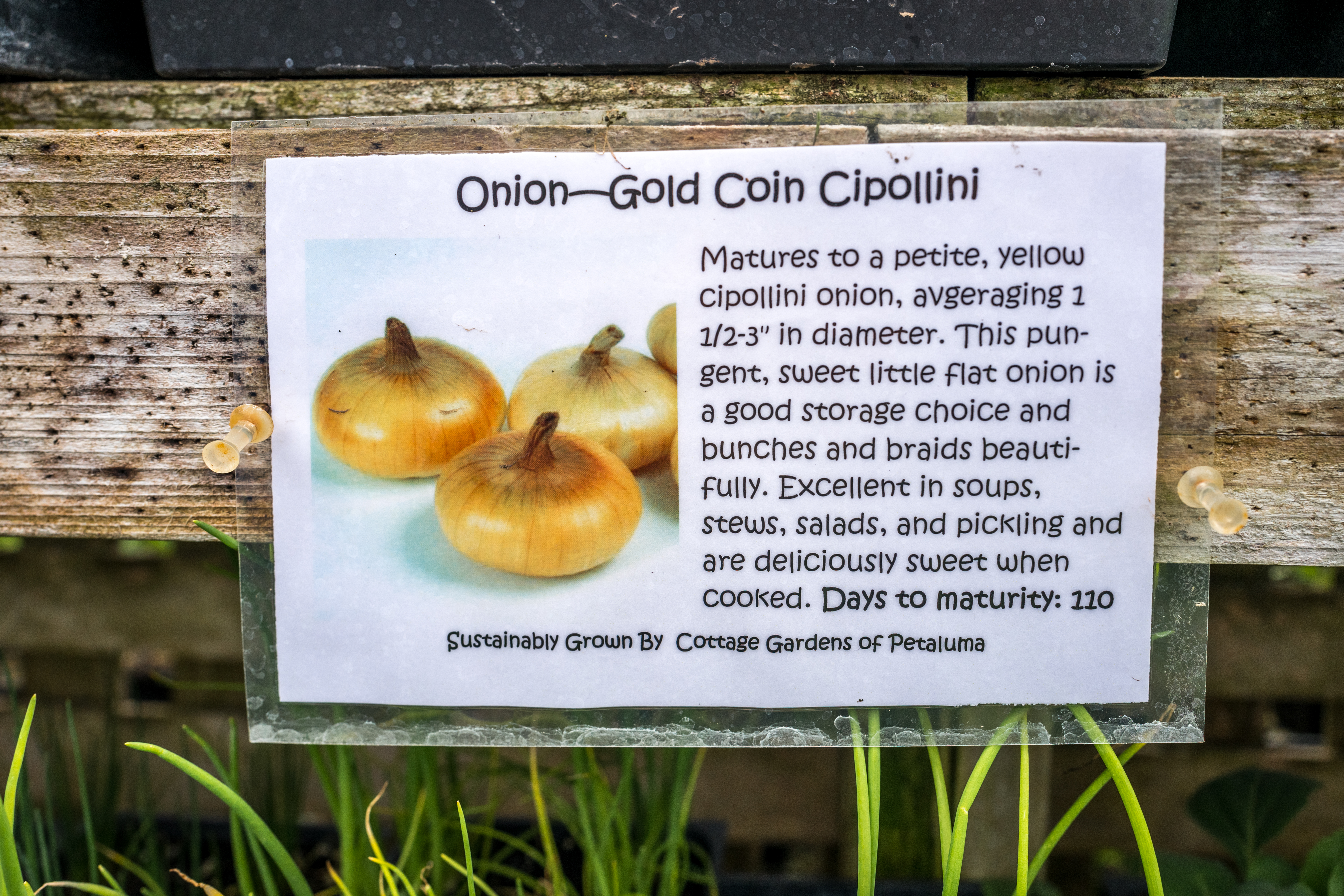 I Also Bought A Six Pack Of Gold Coin Cipollini Onions Which We Will Love,  In About 110 Days, According To The Label. Arenu0027t They Irresistible?