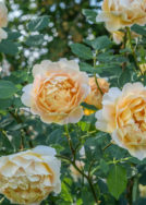 David Austin roses are here
